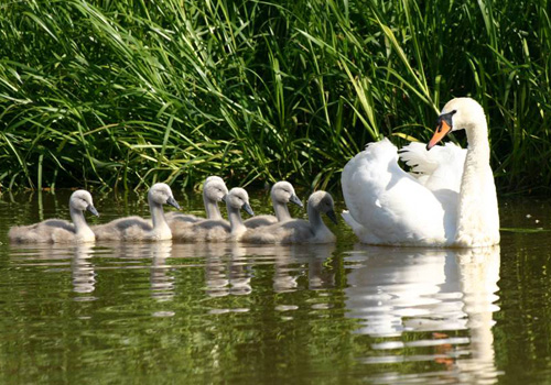 A Swan and her Cygnets